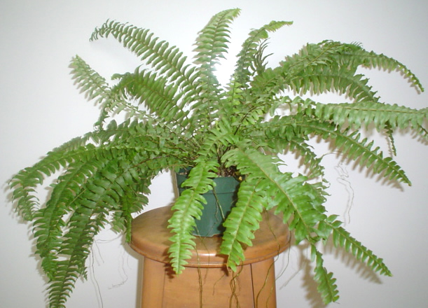 Boston fern plant image