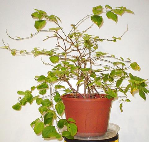 Bougainvillea plant image