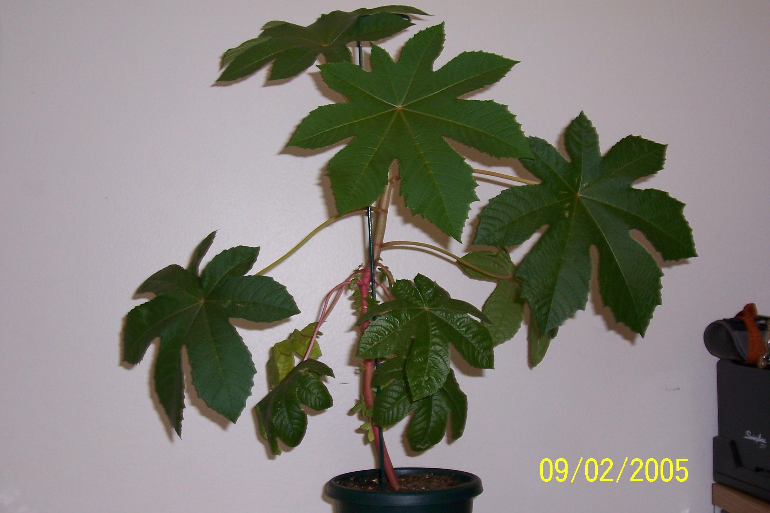 Castor bean plant image