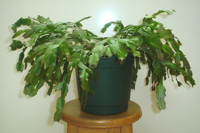 Christmas cactus plant image