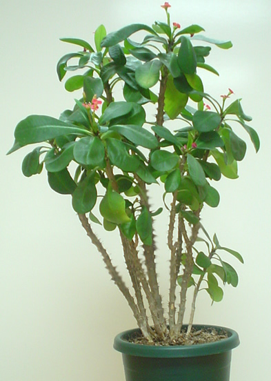 Crown of Thorns plant image