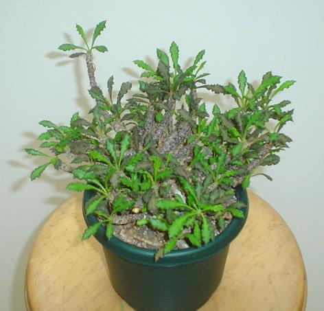 Euphorbia decaryi plant image