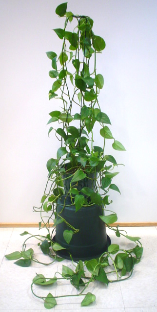 Golden pothos plant image