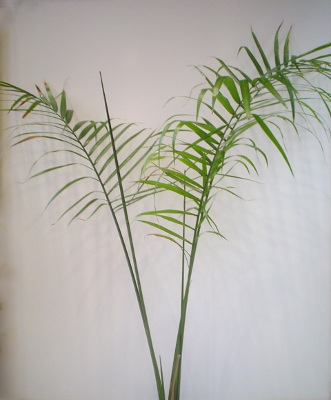 Majesty palm plant image