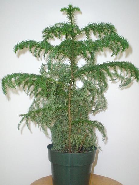 Norfolk Island pine plant image