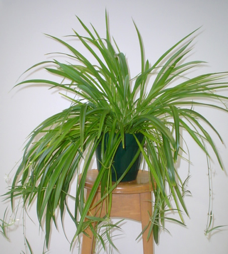 Spider plant image