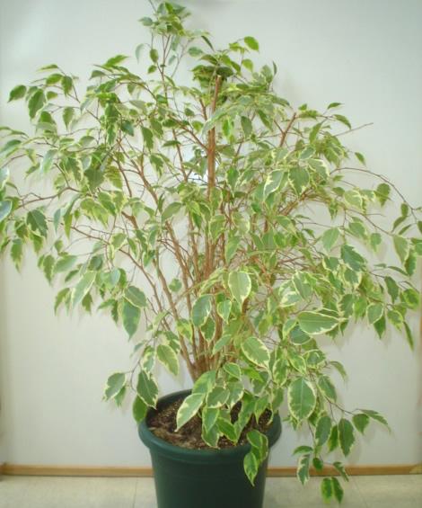 Variegated ficus plant image