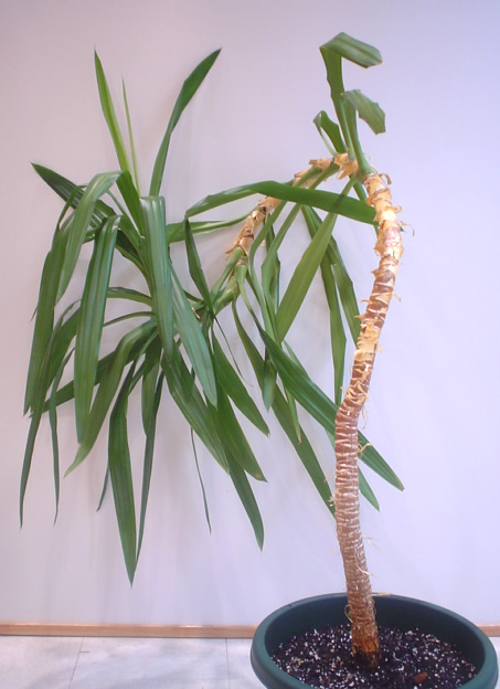 Yucca plant image