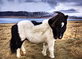 Photo of an Icelandic pony