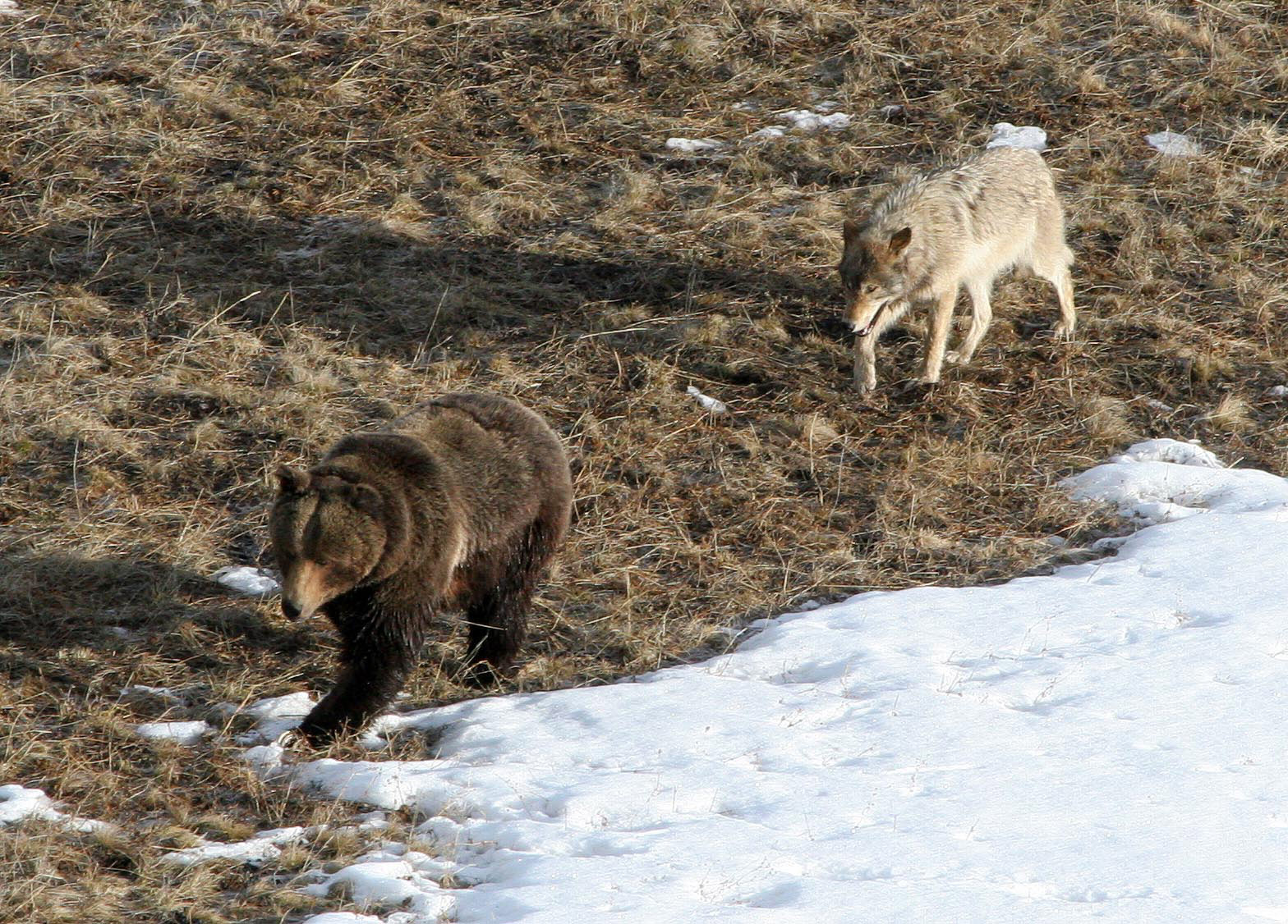 a brown bear and a wolf skirt a pile of snow against a backdrop of dried grass.