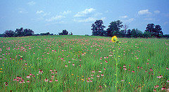 Purple coneflower and coreopsis in bloom at ParkLands Foundation - Prairie restoration - McLean County, Illinois
