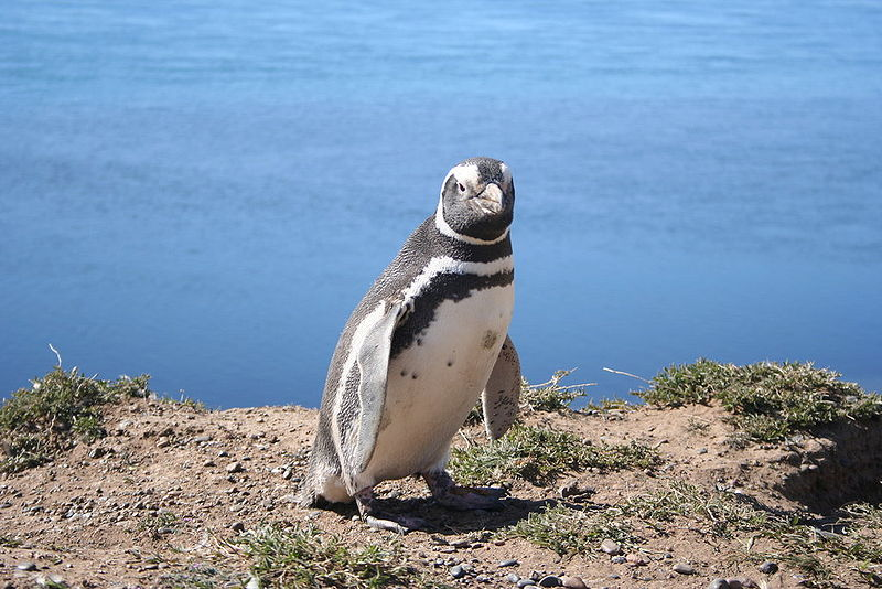Megellanic Penguin