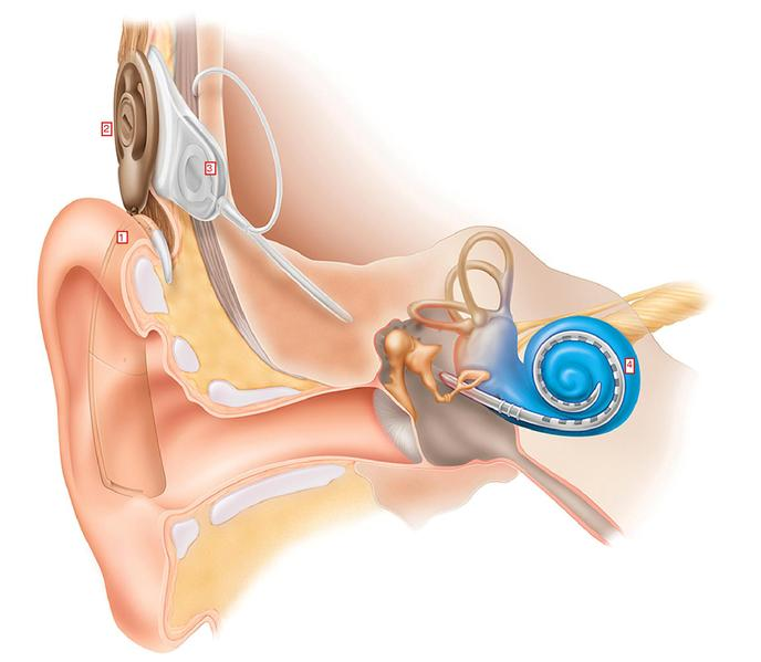Diagram of the inner ear.