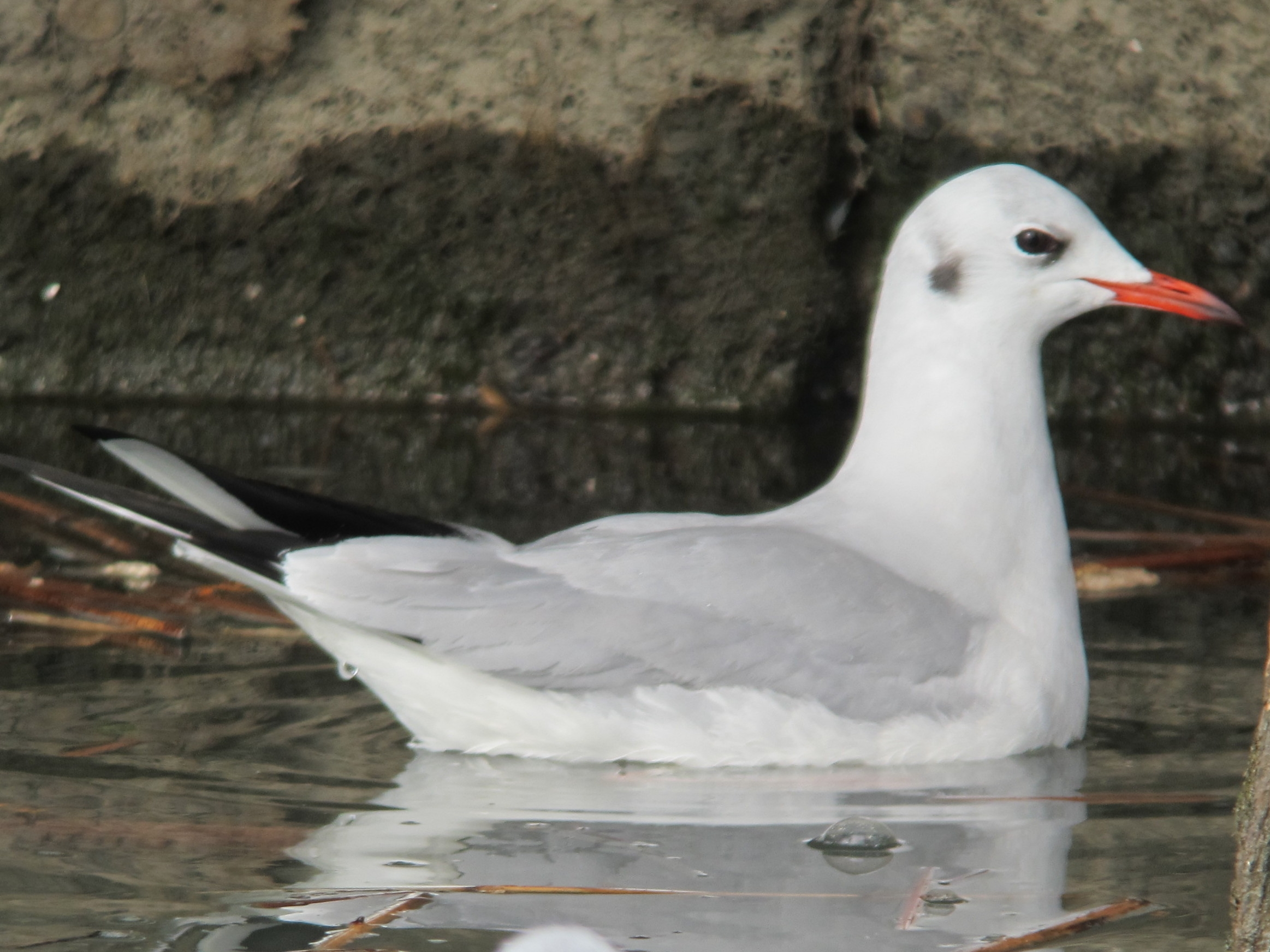 Black-headed Gull taken by Marcie Jacklin in February 2012 at Richs Marina in Buffalo