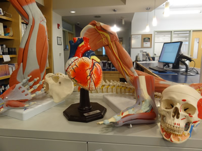 Anatomical models available at MEC Library