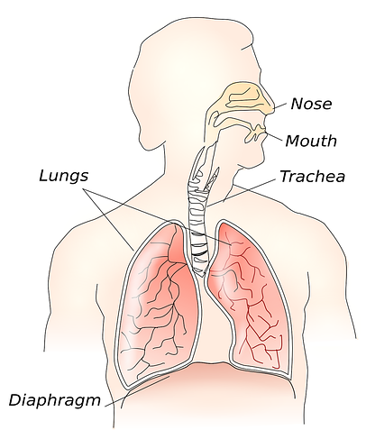 Lung Diaphragm