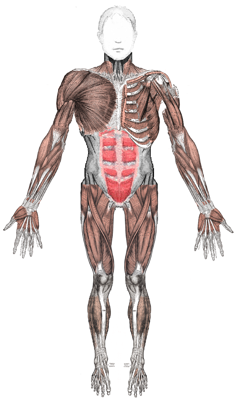 muscles anterior