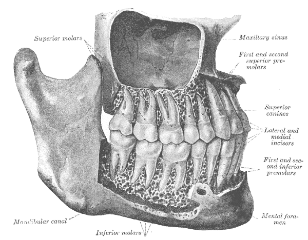 image of teeth from right side