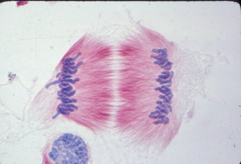 Lily cell in anaphase