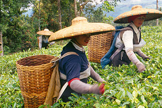 Two women harvesting tea in Bogor, West Java.