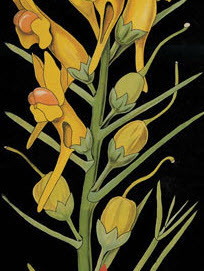 Fragment of Linaria Vulgaris