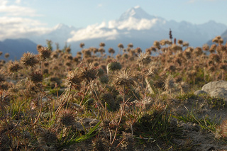 Skunkweed on Mount Cook
