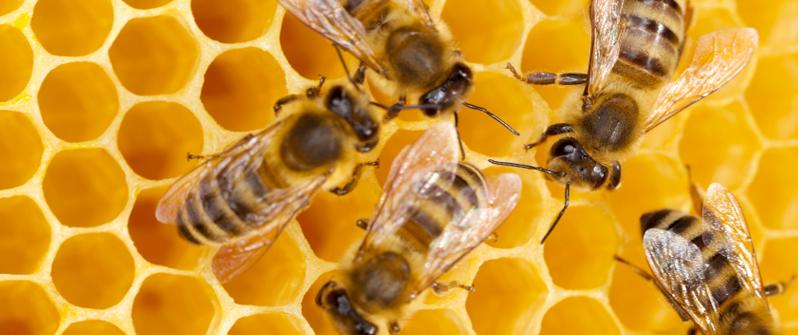 Pest World For Kids - Pest Guide - Bees