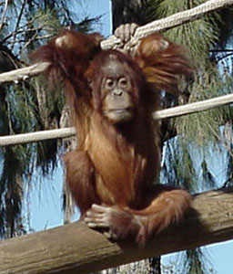 Playful young orangutan