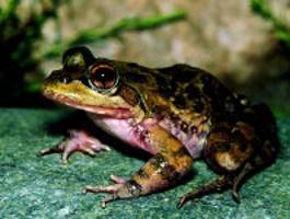 Van Dijk's River Frog