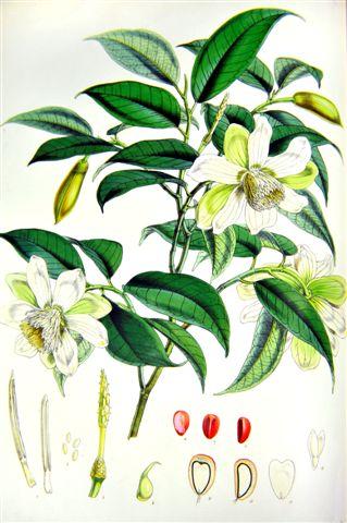 Joseph Hooker, Illustrations of Himalayan Plants (1855)