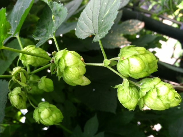 Homegrown Hops from Hendersonville, NC!