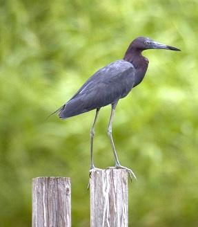 A heron standing on a log