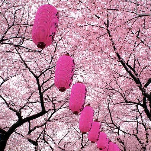 cheryy blossoms