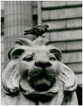 Pigeon sitting on top of stone lion's head in front of the New York Public Library.