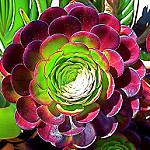 Aeonium arboreum 'Atropurpureum';photo courtesy of Flickr cc/Trace Nietert