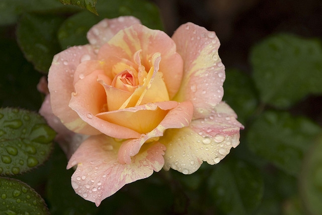 "Rosa 'April Moon"" ; photo by Ivo Vermeulen"