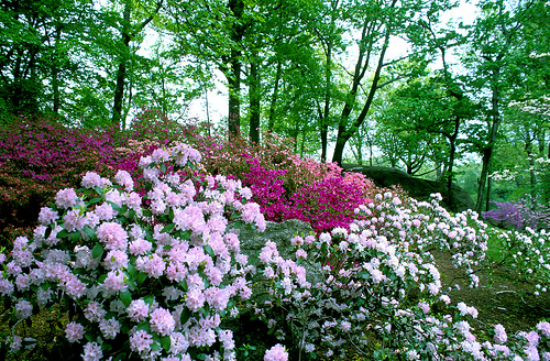 Azalea Way at NYBG; photo by NYBG Staff