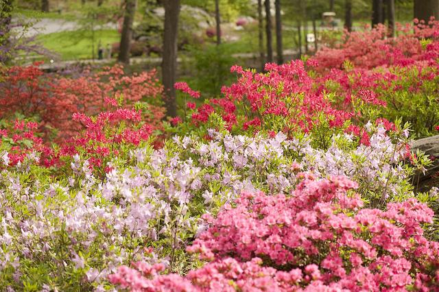 The Azalea Garden at NYBG; photo by Ivo Vermeulen