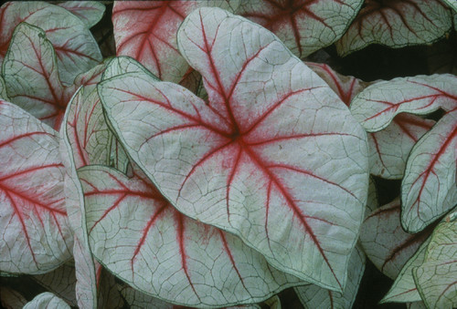Caladium 'White Queen' photographed at NYBG