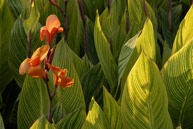 Canna 'Striata'; photo by Ivo Vermeulen