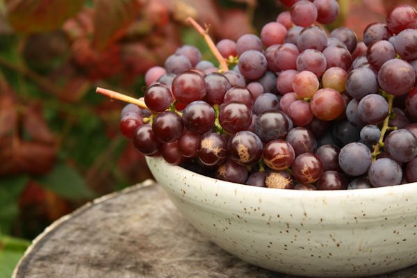 A bowl of Vitis labrusca 'Catawba'; photo courtesy of Flickr cc/ Sand_and_sky