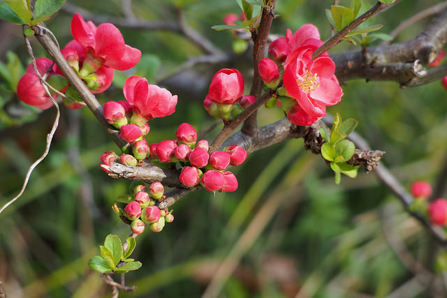 Pink blossoms of Chaenomeles japonica (Japanese flowering quince); photo courtesy of Flickr cc/harum.koh