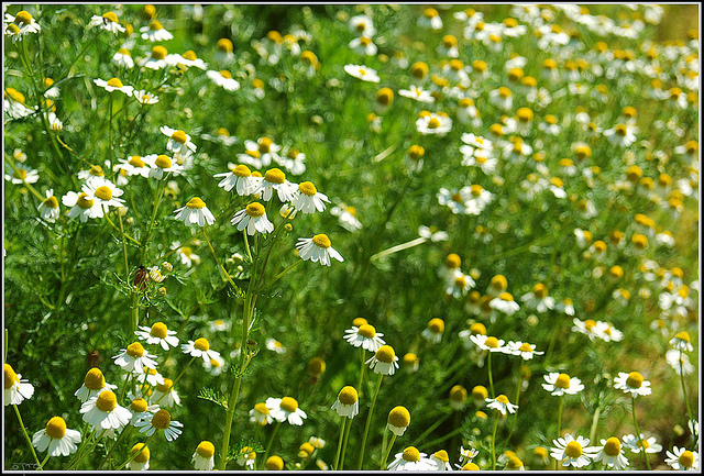 German chamomile (Matricaria recutita); photo courtesy of Flickr cc/Eran Finkle
