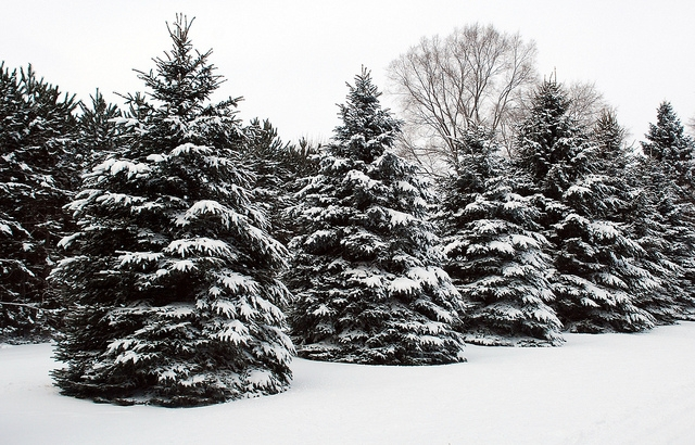 Spruce trees; Courtesy of Flickr cc/gerrybuckel