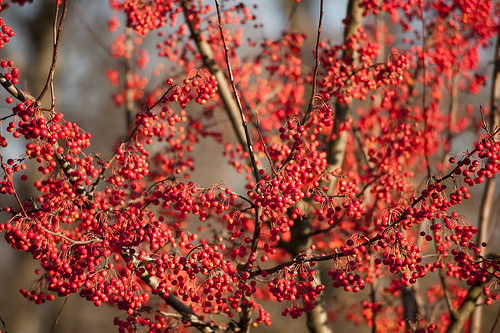 Malus 'Red Jewel'; photo by Ivo M. Vermeulen