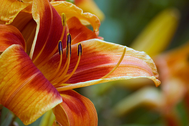 Hemerocallis 'Outrageous'; Photo by Michelle Longo