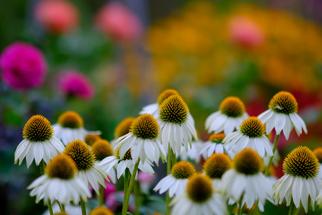 Echinacea 'Pow Wow White'; photo courtesy of Flickr cc/der Lichtklicker
