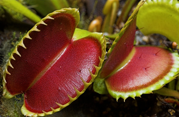 Dionaea muscipula; photo courtesy of Flickr cc/Barry Rice