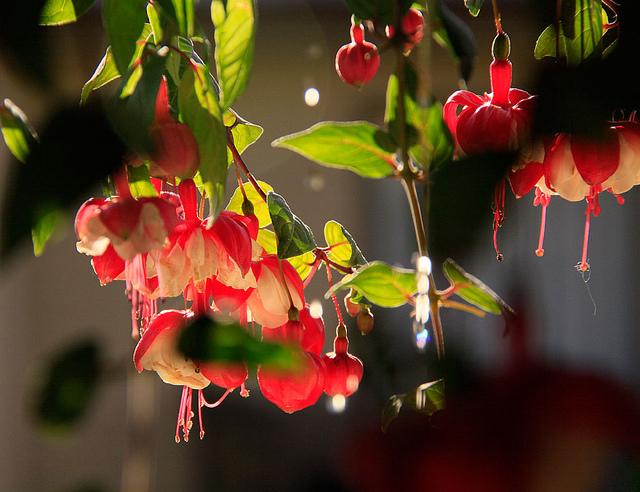 Fuschia 'Swingtime'; courtesy of Flickr cc/waferboard