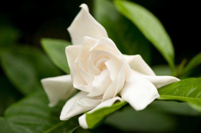 Gardenia jasminoides in flower; photo by Ivo Vermeulen